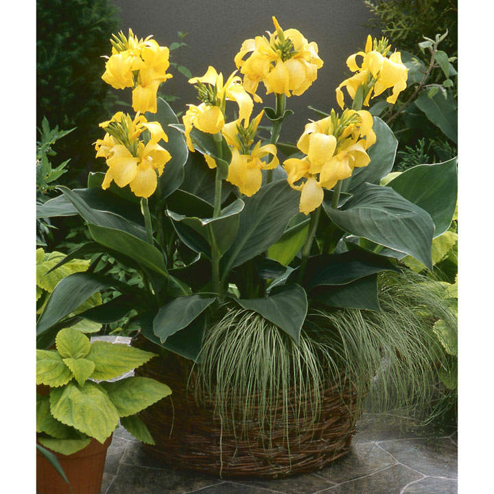 Canna cannova yellow cannas grasses 2 litre plants flower canna plant cannova yellow mightylinksfo