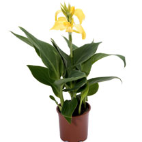 Canna Plant - Cannova Yellow