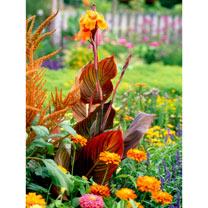 Canna Plants - Tropicanna