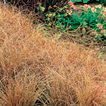 Carex buchananii Plant - Red Rooster