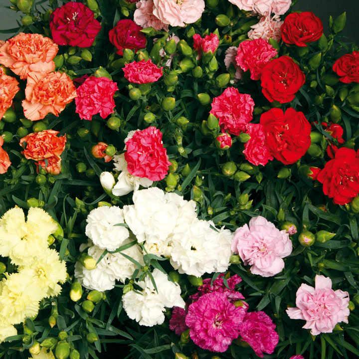 Carnation Plants - F1 Lillipot