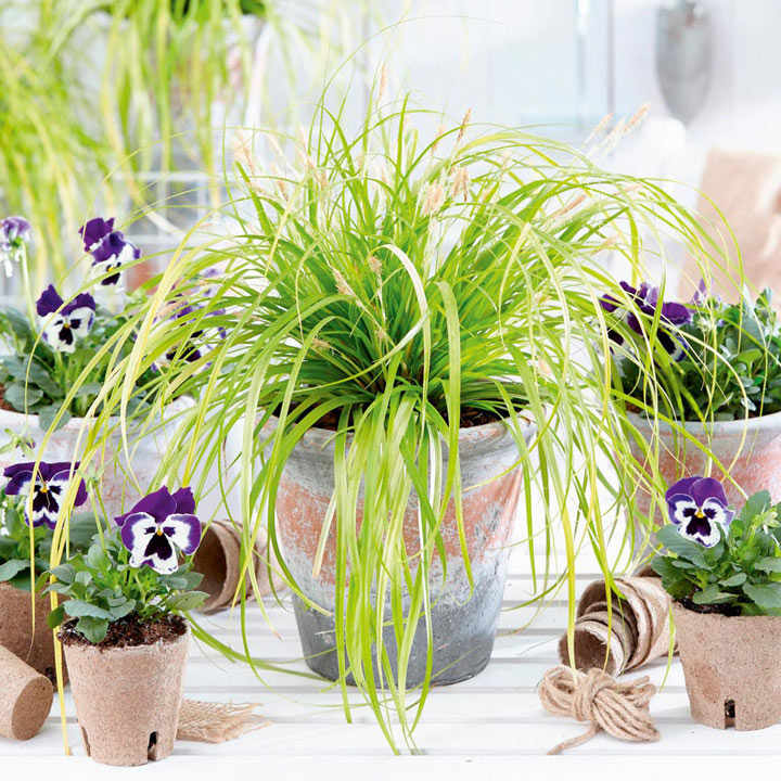 Carex Plant - Everillo