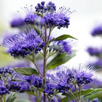 Caryopteris cland. Plant - Grand Bleu®