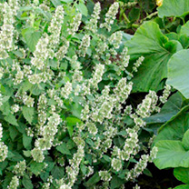 Click to view product details and reviews for Catmint Seeds.