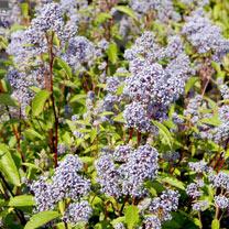 Ceanothus pallidus 'Marie Bleu' NOBLE