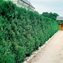 Thuja Atrovirens (Western Red Cedar) Plants
