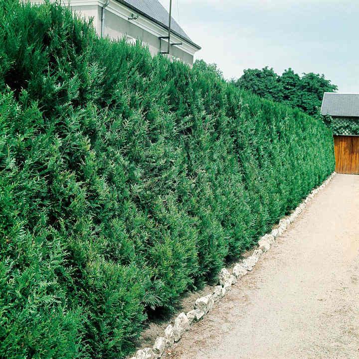 Thuja Atrovirens (Western Red Cedar) Plant - 2L Value Hedging Range