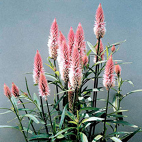 Celosia Seeds - Flamingo Feather