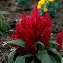 Celosia Plants - Dragon's Breath