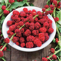 Strawberry Seeds - Strawberry Sticks (Chenopodium)