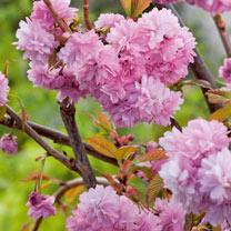 Flowering Cherry Cheals Weeping