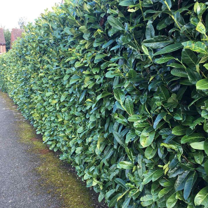 Prunus laurocerasus Rotundifolia (Cherry Laurel) Plant - 2L Value Hedging Range