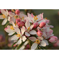 Choisya ternata Plant - Apple Blossom®