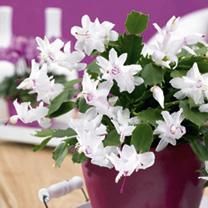 Christmas Cactus Schlumbergia- White