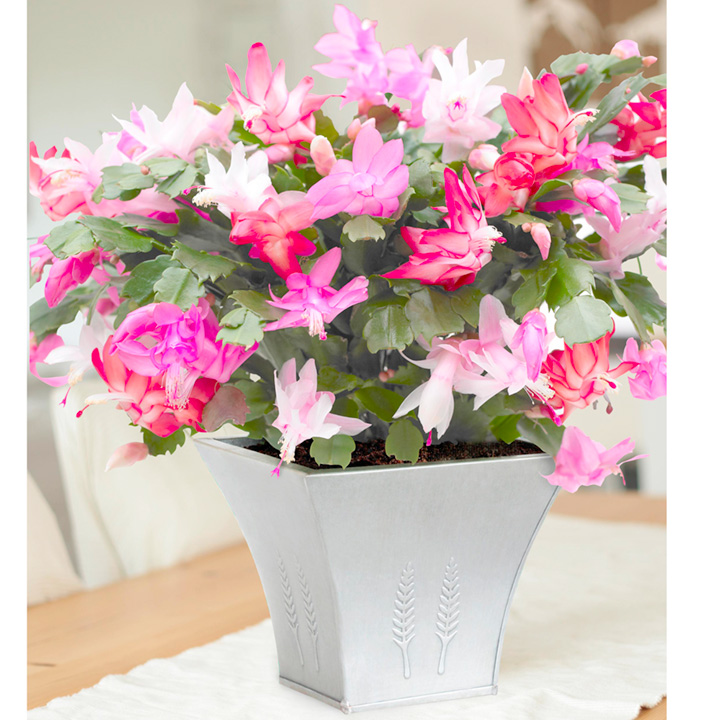 Christmas Cactus Plants - Mixed