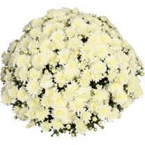 Chrysanthemum Plant - Meridian White