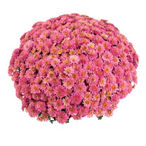 Chrysanthemum Plant - Meridian Coral