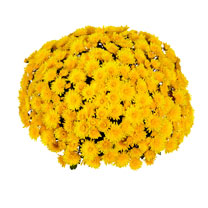 Chrysanthemum Plant - Meridian Yellow