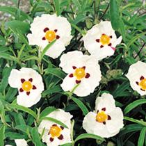 Cistus purpureus Plant - 'Alan Fradd'