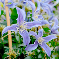 Clematis Amazing®™ Plants - Collection