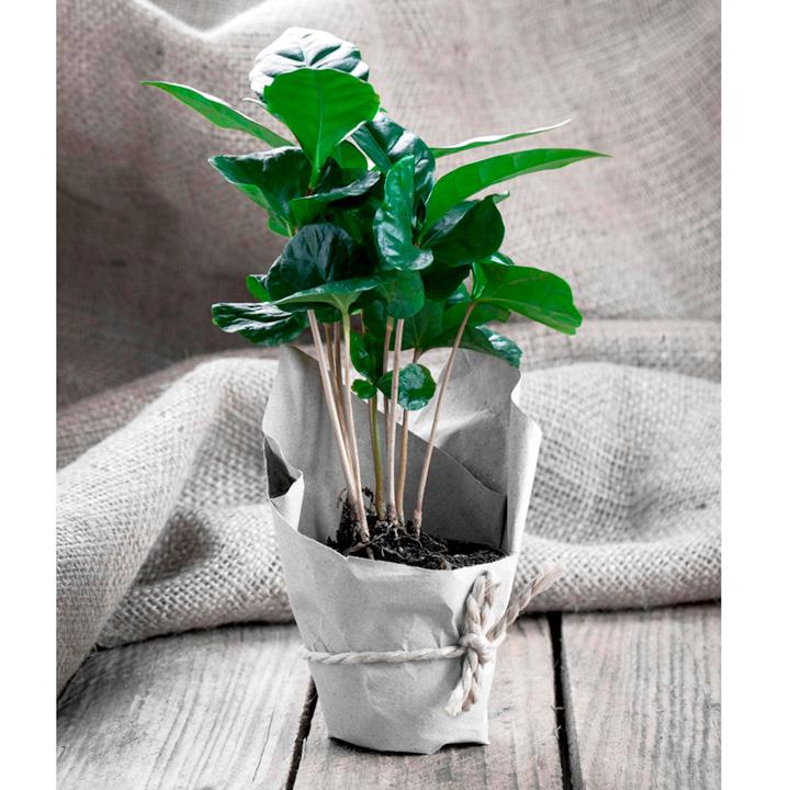 Coffea Seeds - Arabica Nana