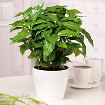 Click to view product details and reviews for Houseplant Seeds Barista.