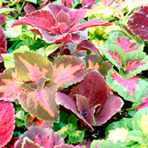 Houseplant Seeds - Coleus Blaze Collection