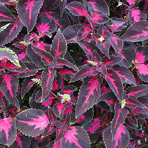 Coleus Plants - Scarlet Ribbon