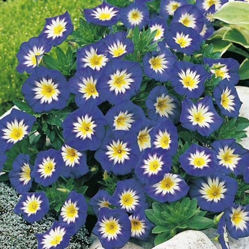Convolvulus minor Seeds - Blue Ensign