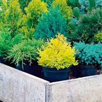 Conifer Plant - Juniperus Old Gold