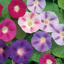 Convolvulus major Seeds - Trumpet Mix