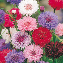 Cornflower Seeds - Polka Dot Mix