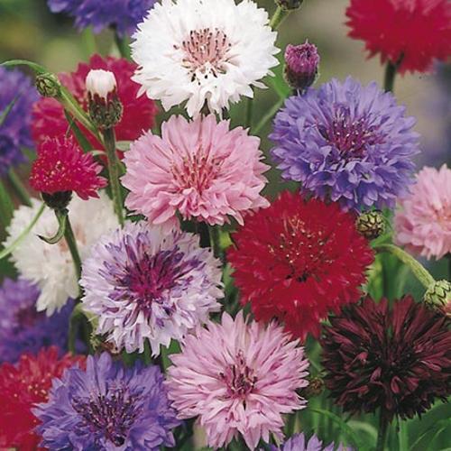 Cornflower Seeds - Polka Dot Mix