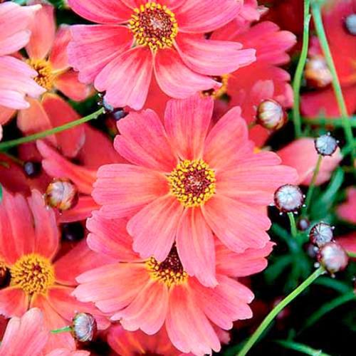 Coreopsis Plant - Rum Punch