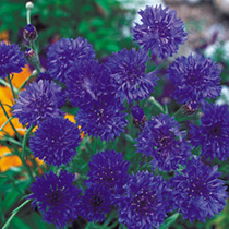 Click to view product details and reviews for Cornflower Seeds Blue Diadem.
