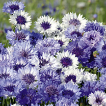 A re-selected and improved variety with good double flowers in various shades of blue, most with attractive frosted white edges. Long stems make it an