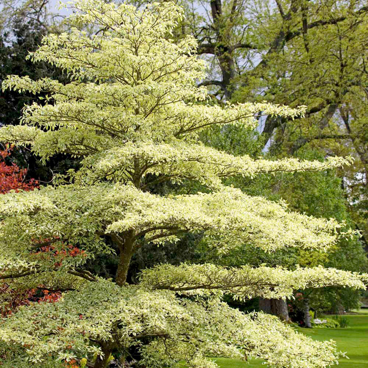 wedding cake feminised seeds uk cornus wedding cake tree trees shrubs hedging gardening 22604