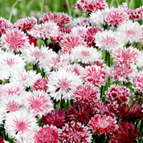 A cottage garden favourite. A charming mix of pinks and rosy reds with white tips. Easy to grow and great for pollinators. Flowers June-September. Hei