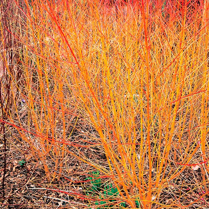 Cornus Plant - Midwinter Fire