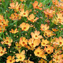 A pop of colour for your border! Never stops flowering! Clouds of orangey blooms float above the plants. A great performing border filler. Versatile u