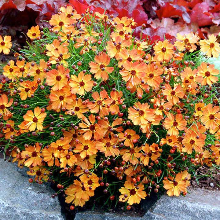 Coreopsis Plant - Mango Punch