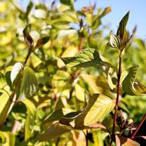 Cornus alba Plant Aurea