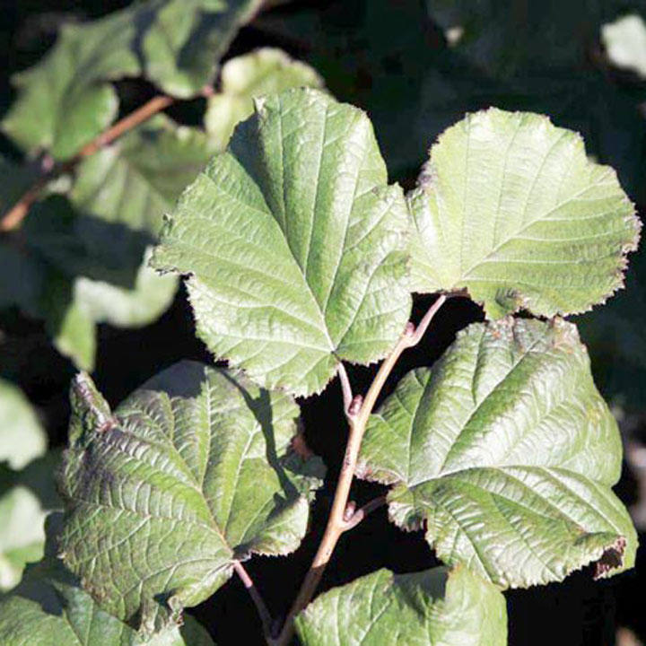 Corylus maxima Plant - Purpurea