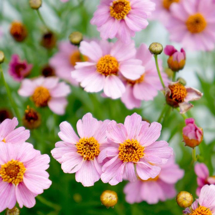 Coreopsis Twinklebells Pink