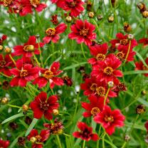 Coreopsis Twinklebells Red