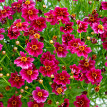 Coreopsis Plant - Purple