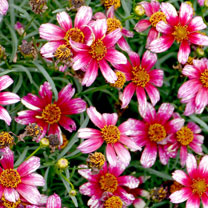 Coreopsis Plant - Madras Magic