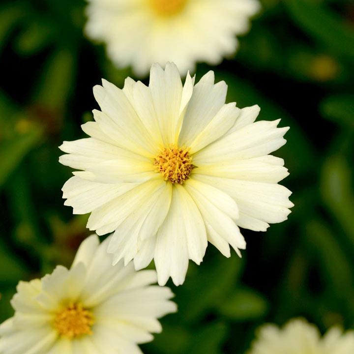 Coreopsis Plant - Uptick Cream