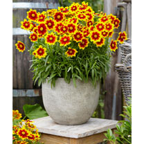Coreopsis Plant - Uptick Gold and Bronze