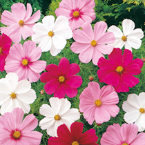 Cosmea Seeds Sonata Dwarf Mix